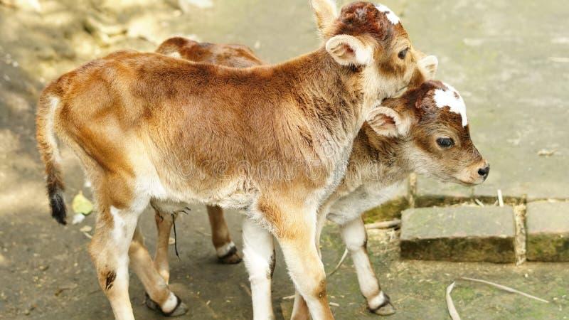 两从母牛负担的小牛 库存照片