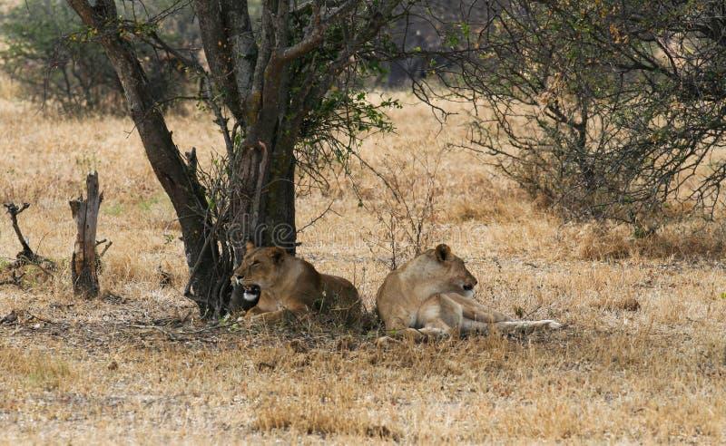 两休息在树的树荫的下雌狮 免版税图库摄影