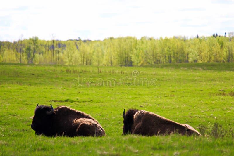 两休息在麋鹿岛国家公园亚伯大加拿大的北美野牛 免版税库存图片