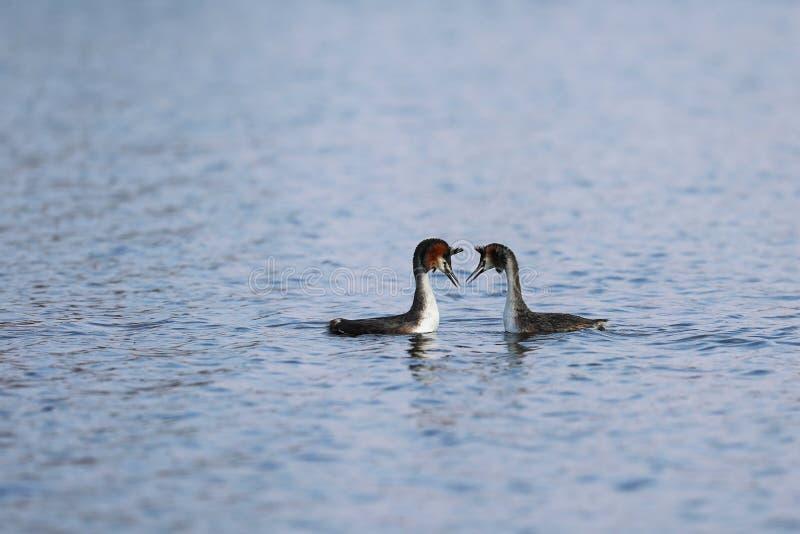 两伟大的有顶饰格里布- podiceps cristatus -在湖的游泳 库存图片