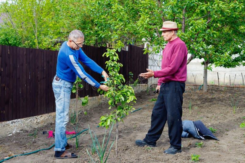 两位农夫在室外庭院谈论照料年轻洋梨树 库存图片