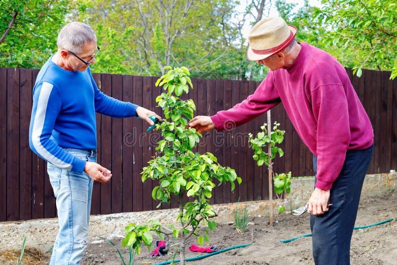 两位农夫在室外庭院谈论照料年轻洋梨树 免版税库存图片
