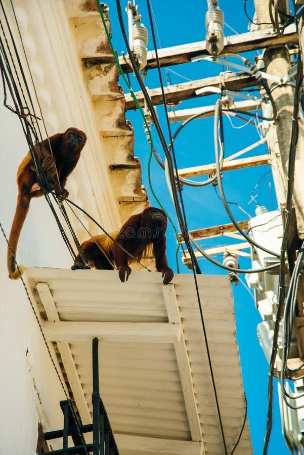 两位棕色叶猴女性侵略一个屋顶 免版税库存照片