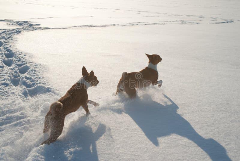 两使用在雪的成人basenji狗 库存照片