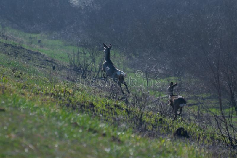 两使跑掉到灌木的欧洲狍狍属狍属惊奇 免版税库存照片