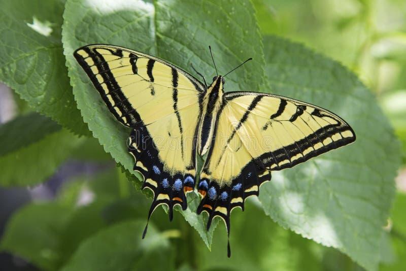 两侧的swallowtail蝴蝶 免版税库存照片