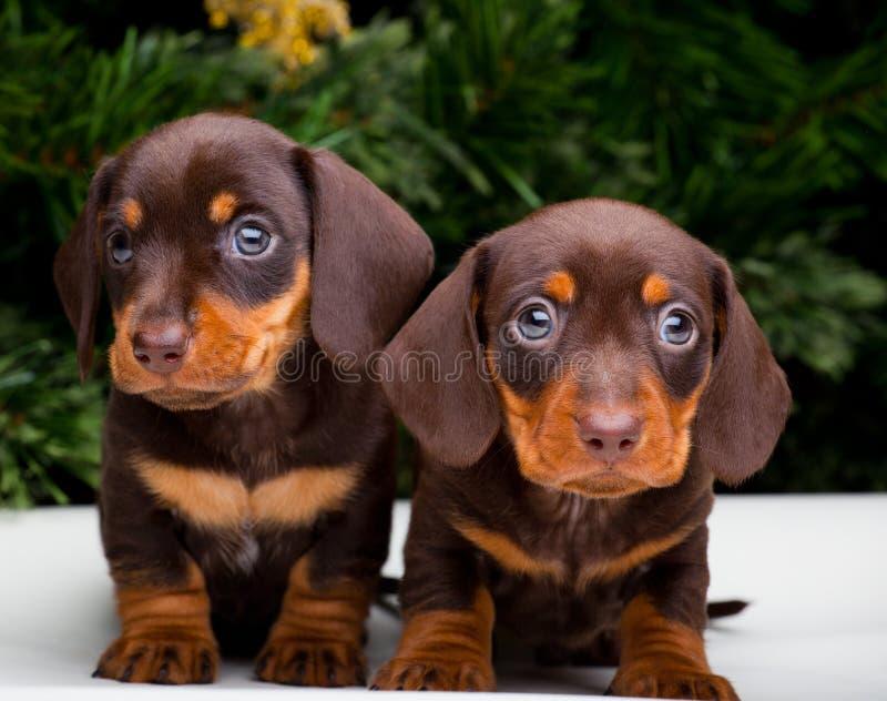 两俏丽的小狗达克斯猎犬狗新年好2018年 库存图片