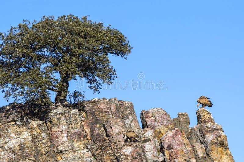 两兀鹫坐岩石和观看 免版税库存图片