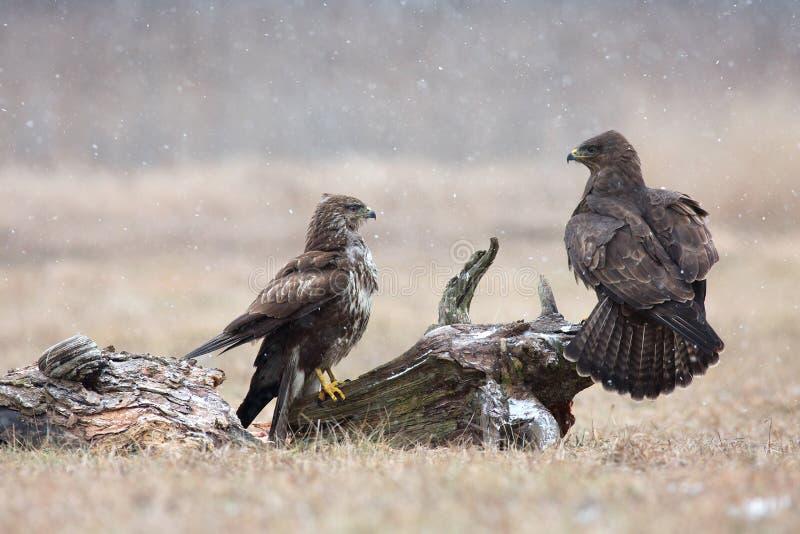 两共同性肉食(鵟鸟鵟鸟)在冬天,草甸 库存照片