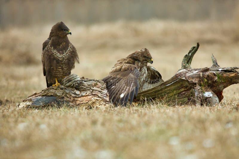 两共同的肉食鵟鸟鵟鸟 免版税库存图片