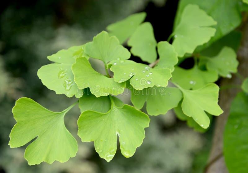 两刃状的银杏树的分支(银杏树biloba L ) 使用绿色叶子 免版税库存照片