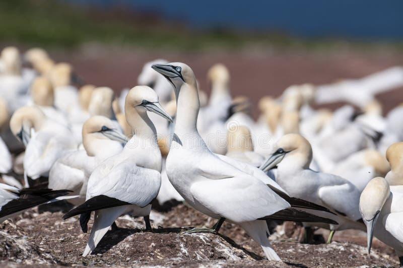 两北gannets接合,在筑巢季节期间的桑属bassanus特写镜头画象  免版税库存图片