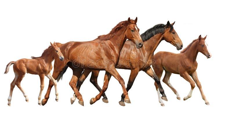 两匹棕色马和两只任意跑小的驹的家庭 免版税库存图片