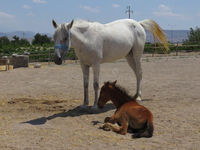 两匹美丽的马,棕色和白色 免版税库存照片