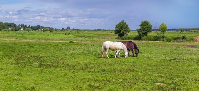 两匹被栓的马在牧场地 免版税库存照片