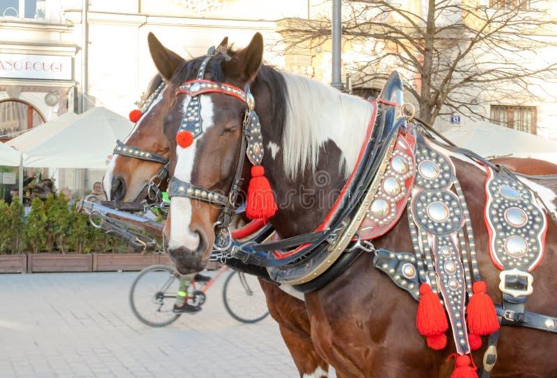两匹装饰的马队乘坐的游人的在大广场的一个支架的在克拉科夫 库存图片