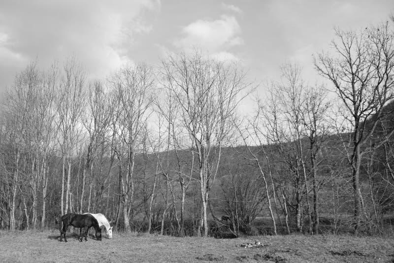 两匹马一白色一黑吃草在一个开放草甸 库存照片