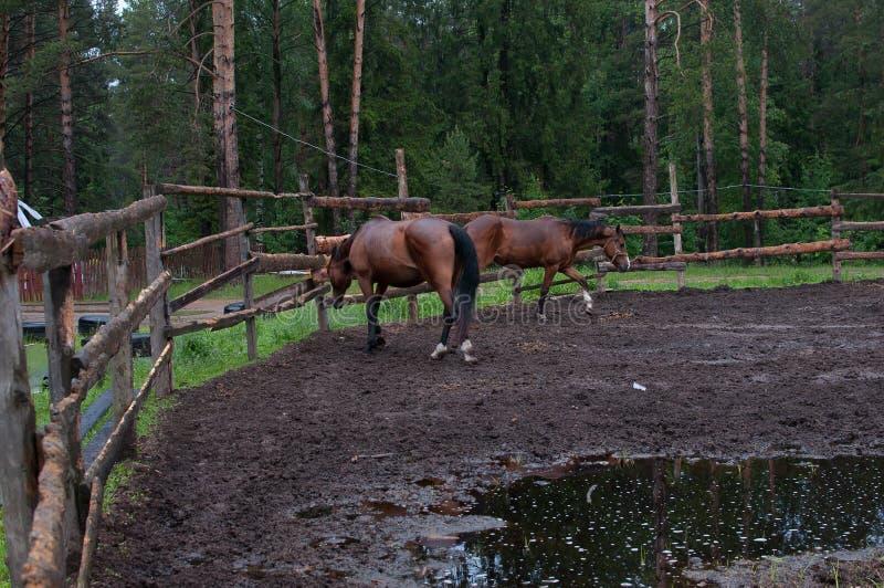 两匹马在步行的小牧场 免版税图库摄影