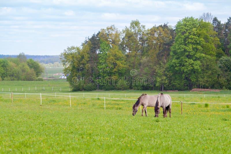 两匹马在牧场地吃草 免版税库存照片