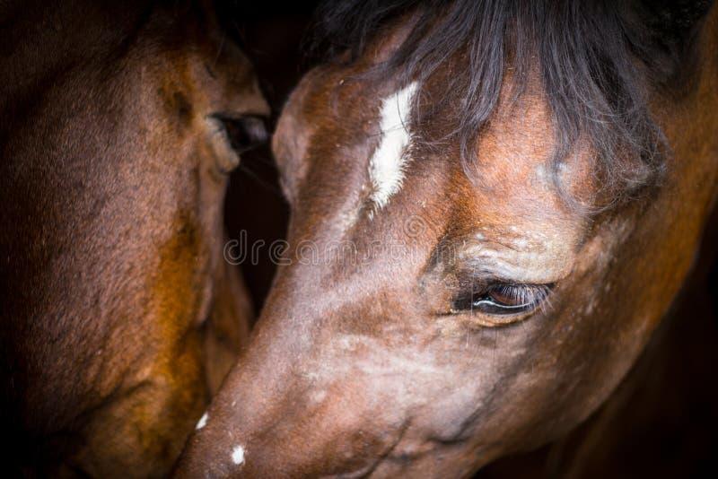 两匹马在他们的槽枥 免版税图库摄影