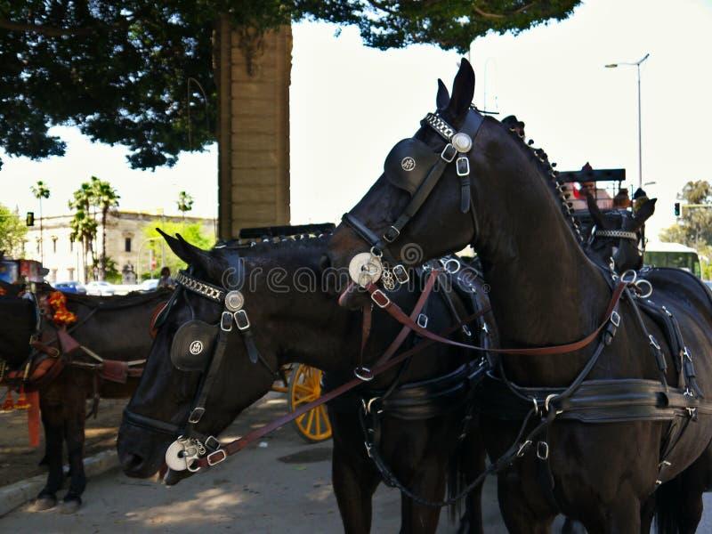 两匹马头的特写镜头在塞维利亚西班牙 库存图片