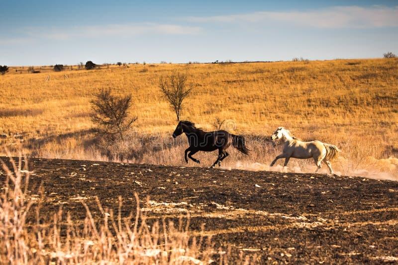 两匹马疾驰 库存照片