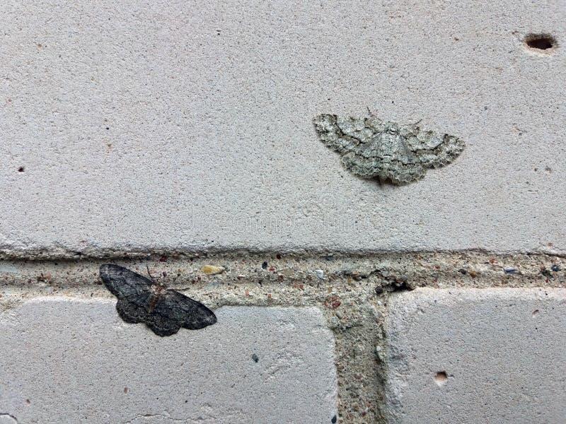 两只不同坐砖墙和说明一项自然选择原则的颜色飞蛾小多灰尘的波浪 库存图片