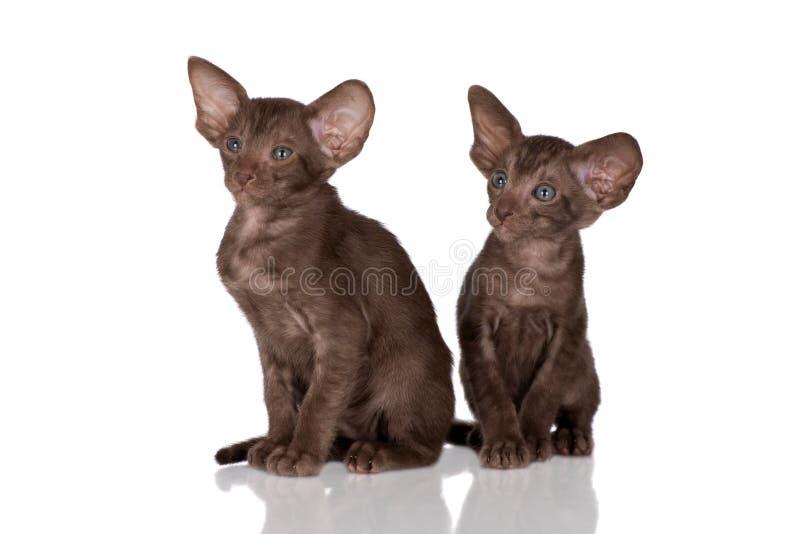 两只东方小猫 库存图片