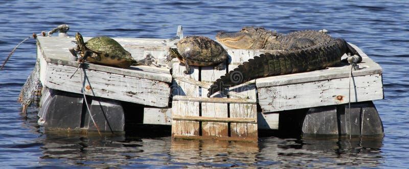 两只乌龟和一条鳄鱼在木筏 库存图片