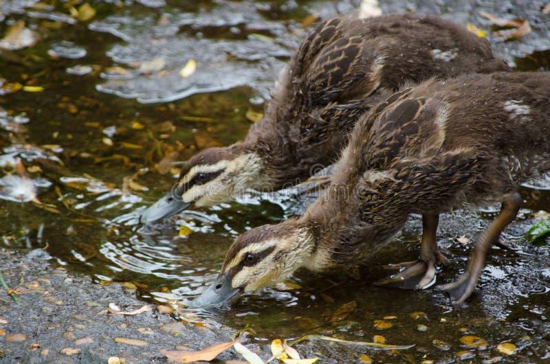 两只从地面的婴孩和平的黑鸭饮用水 图库摄影
