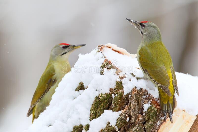 两只公灰色啄木鸟 免版税图库摄影