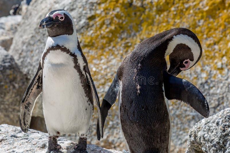 两只公驴企鹅 免版税库存照片