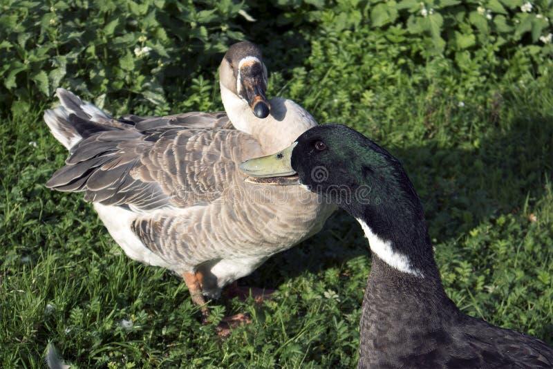两只农厂鸟、棕色鹅和雄鸭与绿色头 免版税库存图片