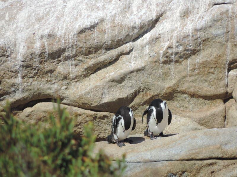 两只南非企鹅清洗自己 免版税库存照片
