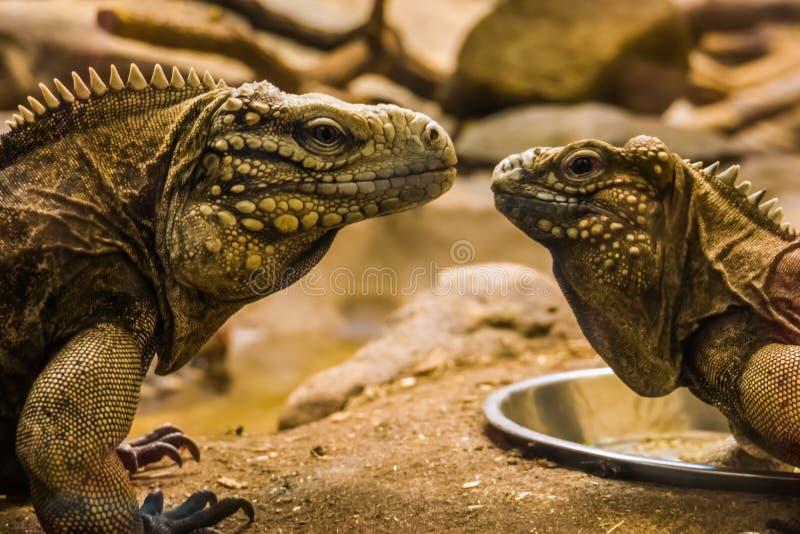 两只古巴岩石鬣鳞蜥的面孔从古巴的海岸的靠近,热带和脆弱的蜥蜴硬币 库存图片