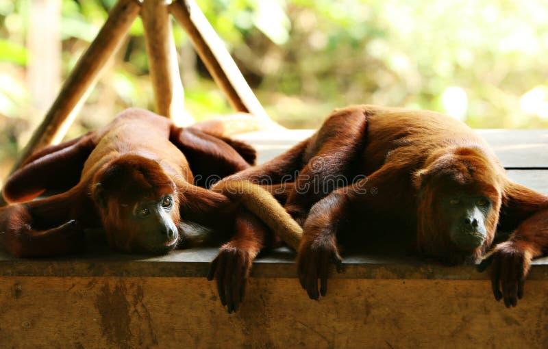 两只吼猴 图库摄影