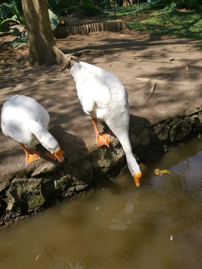 两只在河附近河岸的鹅饮用水  免版税库存照片