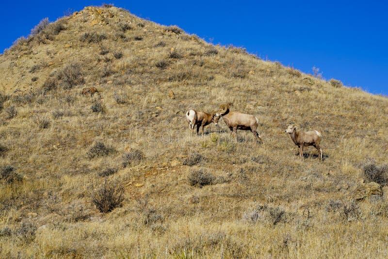 两只大角野绵羊公羊开始在母羊绵羊观看的一次战斗 免版税库存图片