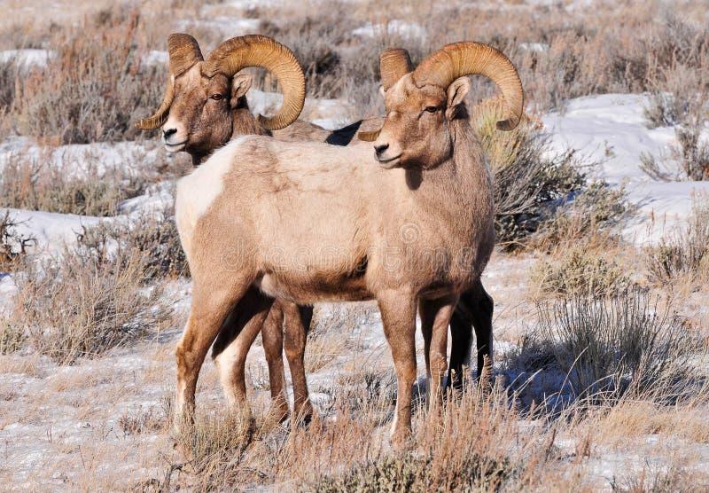 两只大角野绵羊 库存图片