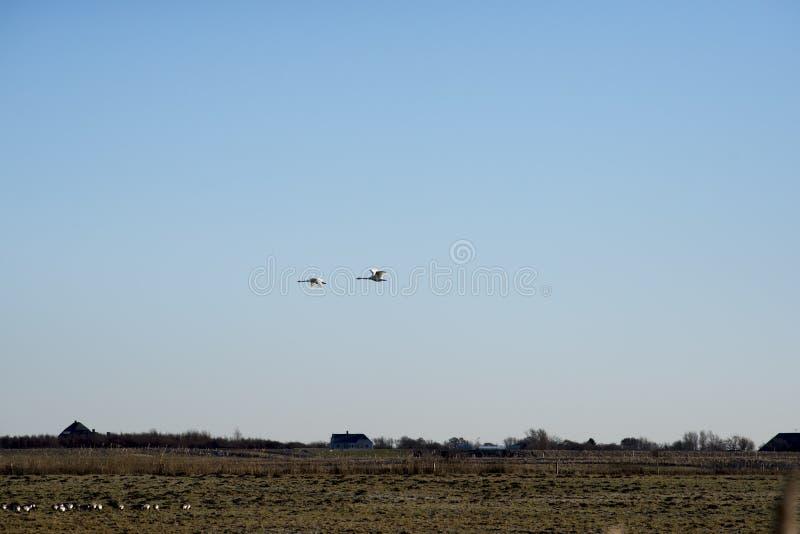 两只天鹅飞行 库存图片