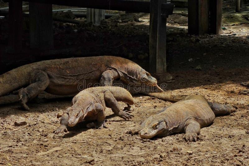 两只女性和一大男性科莫多巨蜥,看见在科莫多岛海岛上,印度尼西亚 库存照片