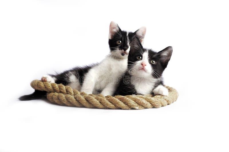 两只小小猫在白色背景的一条绳索说谎 库存图片