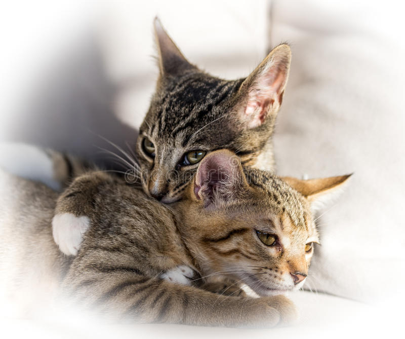两只小猫拥抱 图库摄影