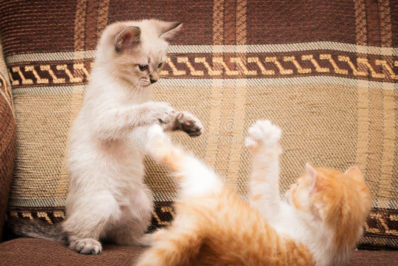 两只小的小猫被演奏 滑稽的比赛和乐趣 库存图片