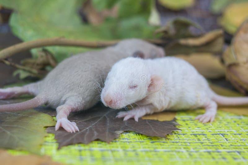 两只小的老鼠是近的 一点瞎的啮齿目动物 免版税库存图片