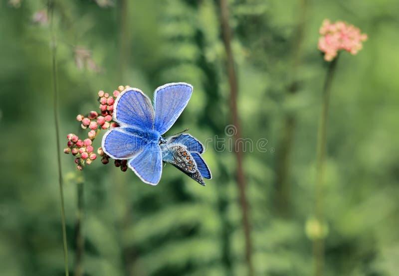 两只小的蓝色蝴蝶坐夏天草甸 图库摄影