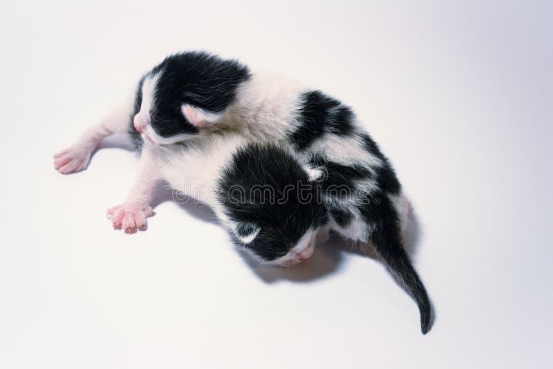 两只小被察觉的小猫 免版税库存照片
