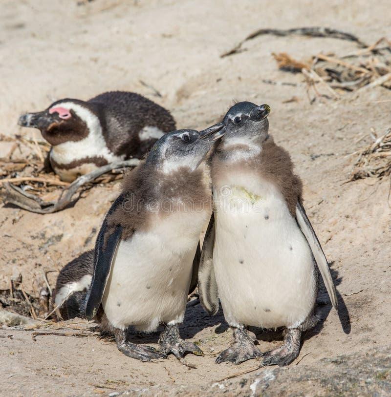 两只小鸡非洲企鹅在一个滑稽的姿势紧挨着站立 西蒙` s镇 冰砾海滩 非洲著名kanonkop山临近美丽如画的南春天葡萄园 免版税库存照片