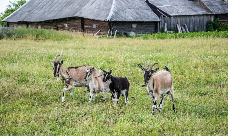 两只山羊和两只幼小山羊在草甸吃草以老棚子为背景 库存图片