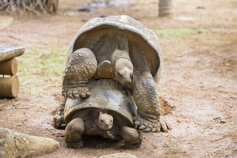 两只巨型乌龟,做爱的dipsochelys gigantea在海岛毛里求斯 交媾是这些动物的困难的努力,  库存图片